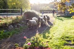 Schafe laufen zur Koppel