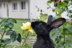 Kaninchen frisst Rose